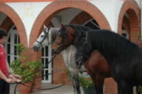 Pure Spanish Breed horses